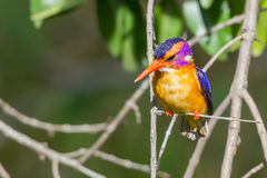 African Pygmy Kingfisher - Ceyx pictus Royalty Free Stock Photo