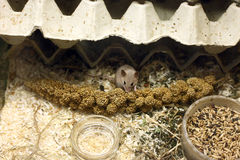 African Pygmy Mouse. Eating seeds in the zoo Stock Photo