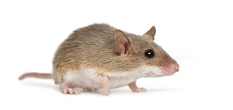 African Pygmy Mouse - Mus minutoides Royalty Free Stock Image