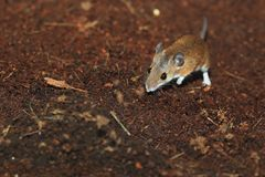 African pygmy mouse. In the soil Royalty Free Stock Images