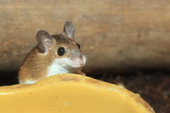 African pygmy mouse Royalty Free Stock Photo