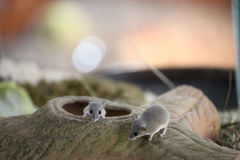 African Pygmy Mouse. Two African Pygmy Mouse in the zoo Royalty Free Stock Photos