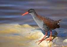 African Rail. Photographed in LAngebaan South Africa royalty free stock images