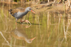 African rail (Rallus caerulescens) Royalty Free Stock Image