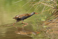 African rail (Rallus caerulescens) Stock Photography