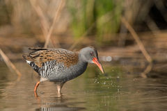 African rail (Rallus caerulescens) Royalty Free Stock Images