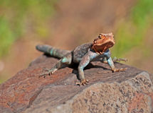 African Rainbow Lizard. An african rainbow lizard resting on a rock Royalty Free Stock Images