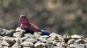 African rainbow lizard Stock Photo