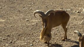 Free African Ram Is Running. Sheep On The Open Spaces Of Africa. Animal In The Wild Stock Photo - 208854380