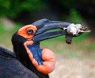 African raven Royalty Free Stock Images