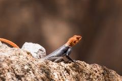 African Readhead Agama on rock. African Readhead Agama (Agama agama) portrait sitting on rock royalty free stock image