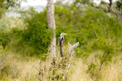 African Red-billed hornbill standing on a tree branch stock images