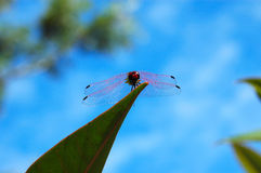 African Red Dragonfly Royalty Free Stock Images