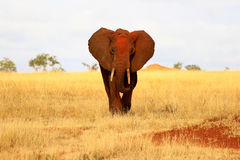 African red elephant. Front view in Tsavo East National Park, Kenya Royalty Free Stock Photo