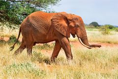 Free African Red Elephant Is In Wildlife Reserve. Africa`s Big 5 Five Animals. Stock Photo - 164370660