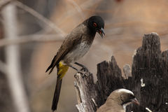 African Red-eyed Bulbul stock photography