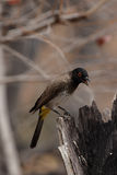 African Red-eyed Bulbul Stock Photo