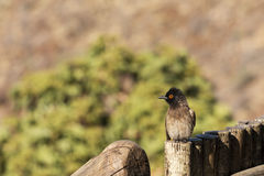 African red-eyed bulbul Royalty Free Stock Image