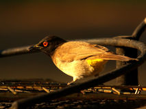Southern african birds. African red-eyed bulbul in South Africa Stock Photography