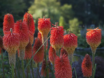 African Red Hot Pokers Stock Image