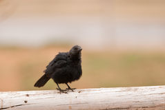 African Red-winged Starling Royalty Free Stock Images