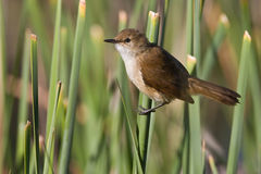 African Reed-Warbler Royalty Free Stock Photos