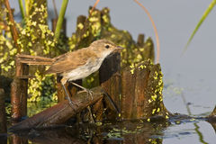 African Reed-Warbler Royalty Free Stock Photography