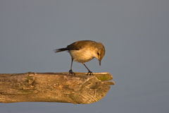African Reed-Warbler Stock Photos