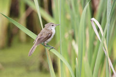 African Reed Warbler Royalty Free Stock Image