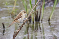 African Reed Warbler Royalty Free Stock Images