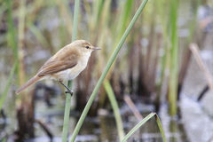 African Reed Warbler Stock Photography