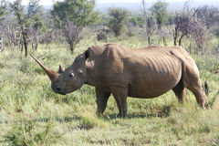 African rhino. A african rhino close up and dangerous Stock Photo