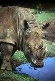 African Rhino Stock Photo
