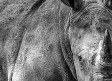 An African Rhino with beautiful texture Stock Photos