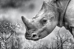 African Rhino Calf Monochrome Horn Stock Photography