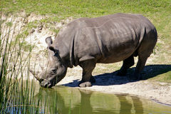 African Rhino Drinking Stock Image
