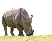 African rhino eating green grass isolated white background Stock Photo