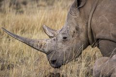 African rhino Royalty Free Stock Image