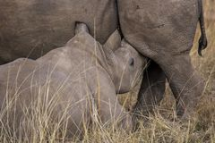 African rhino. Into the wilde in african savannah royalty free stock photo