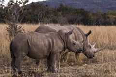 African rhino Royalty Free Stock Photo