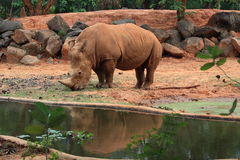 African rhinoceros is eating grasses Stock Photos