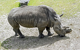 African rhinoceros Royalty Free Stock Image