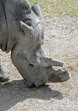 African rhinoceros 6 Royalty Free Stock Photography
