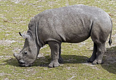 African rhinoceros 7 Royalty Free Stock Images