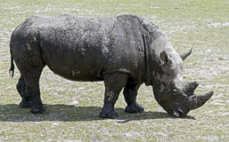African rhinoceros 10 Stock Photography