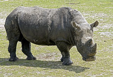African rhinoceros 11 Stock Photography