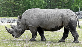 African rhinoceros 12 Royalty Free Stock Images
