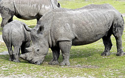 African rhinoceros 14 Royalty Free Stock Photos