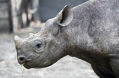 African rhinoceros 15 Royalty Free Stock Photo