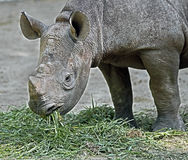 African rhinoceros 17 Royalty Free Stock Images